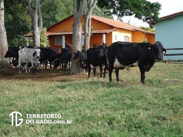 Vacas girolando a venda Vale do Paraiba.